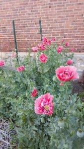 poppies4